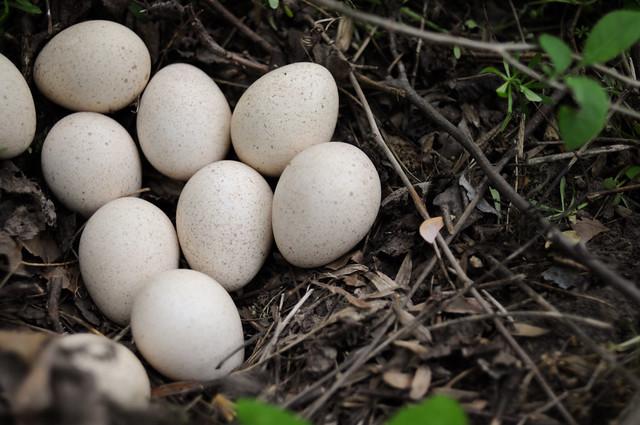 wild turkey eggs