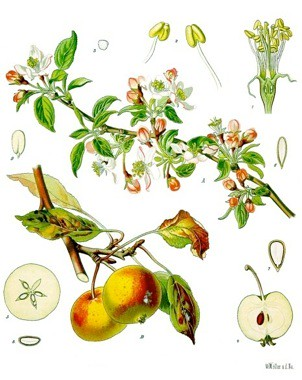 apple (blossom, fruit & seed) by cochinilha