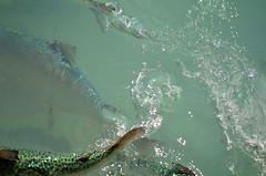 Fresh Water Salmon / Twizel / New Zealand