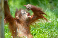Borneo_baby_orangutan