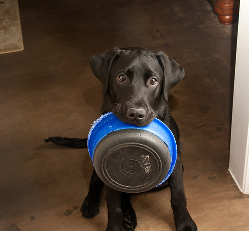Labrador puppy holding his bowl