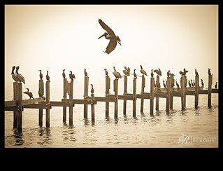 pelican dock at dawn
