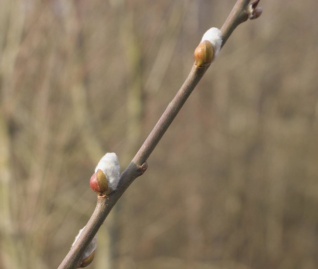 DSC_3637 Willow bud