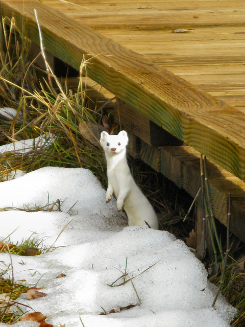 A white weasel in Yosemite by Kristal Leonard.