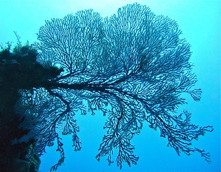 Gorgonian sea fan on the Great Barrier Reef