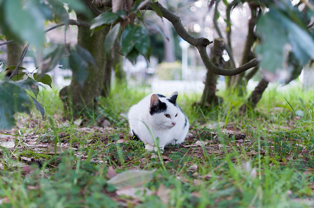 京都御苑 野良ネコ