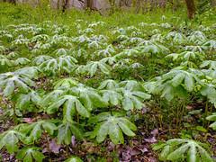leaf, tree, podophyllum peltatum, plant, flora, green, forest, jungle, plantation,