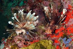 invertebrate(0.0), sea anemone(0.0), coral reef(1.0), animal(1.0), coral(1.0), fish(1.0), fish(1.0), coral reef fish(1.0), marine biology(1.0), fauna(1.0), lionfish(1.0), scorpionfish(1.0), underwater(1.0), reef(1.0),