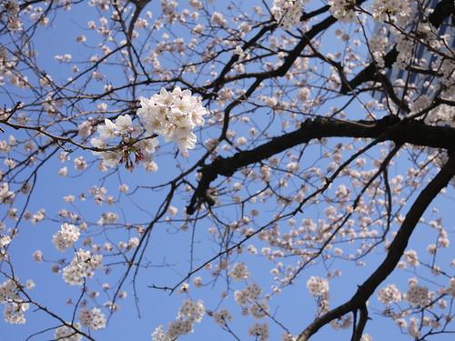 20120408_東京の桜