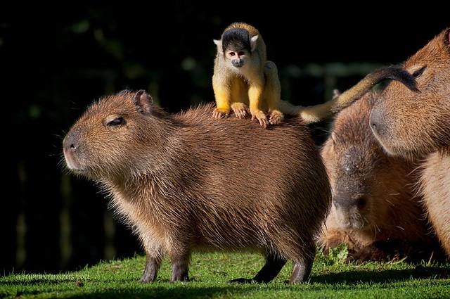 capybara & squirrel monkey