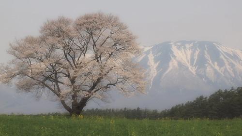 東北 Tohoku, Dear my land