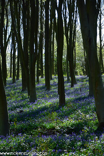 bluebells in the shadows
