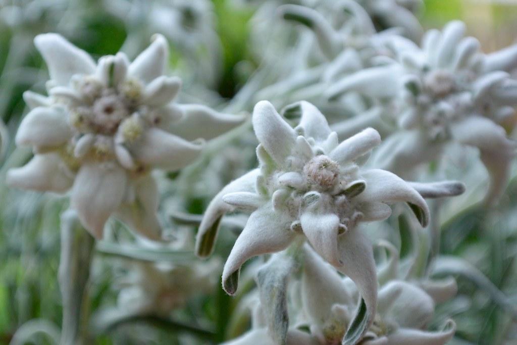 leontopodium alpinum - juli '16