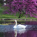 Spring Grove Swan by Mark Dumont