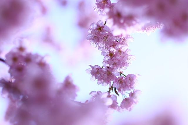 Sakura 2012-8