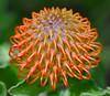pincushion protea flower by cowboy6688