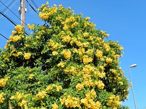 guarán  amarillo (tecoma stans) florecido
