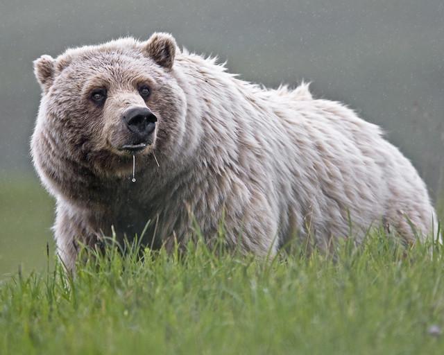 Oso grizzly (Ursus arctos horribilis) en el Parque nacional y reserva Denali. Alaska.