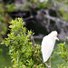 DSC_0098 Cattle Egret