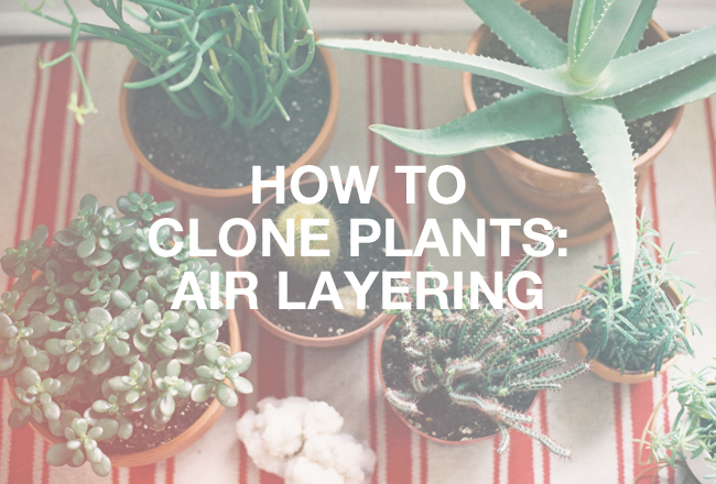 clone Kate Miss plants pot air layering gardening