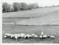 griekenland schapen met vrouw