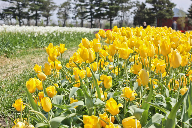 tulips more-3
