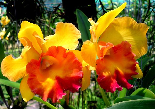 THAILAND-N, Orchideen-Farm in Chiang Mai , 91/1197