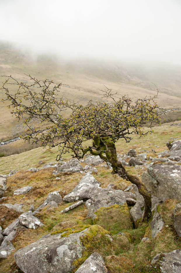 Dartmoor Oak