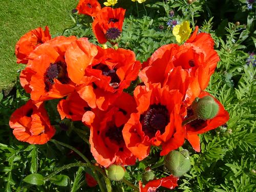 June garden Oriental Poppy