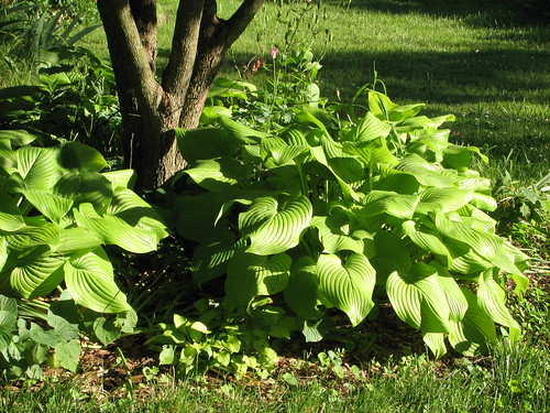 Hosta 'Fried Bananas' paired with smaller hosta 'Emerald Tiara'