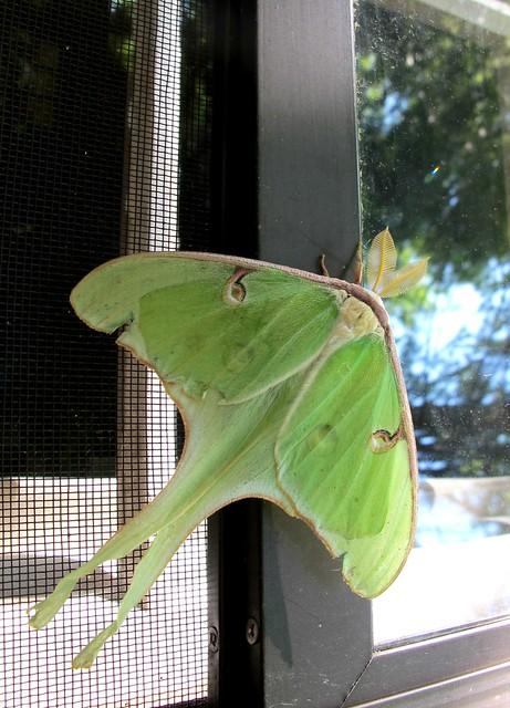 luna moth-er