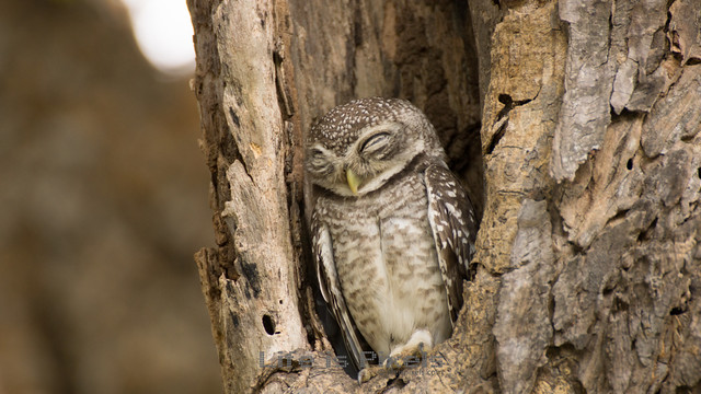 Sleeping Little Owl