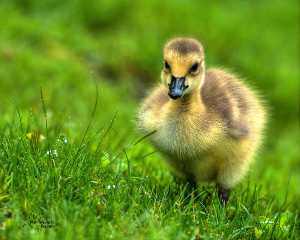 Canada Goose Babe