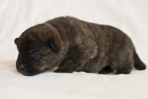 Haru-Third-Litter-Pup2-Female-Day15c