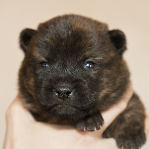 Haru-Third-Litter-Pup2-Female-Day15a