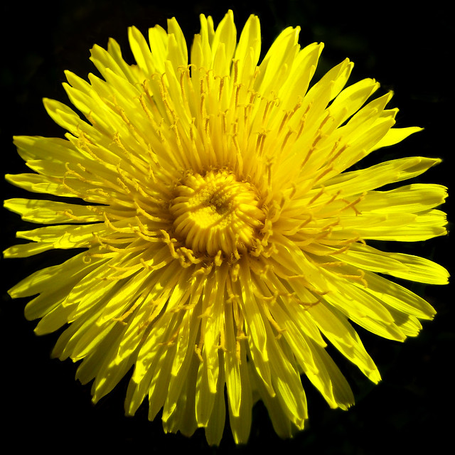 Sunny dandelion - Pissenlit ensoleillé by Monteregina (Nicole), on Flickr