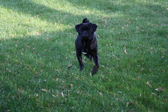 dog breed, animal, dog, cane corso, carnivoran, terrier,