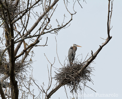 Danada Great Blue Heron Rookery - 08