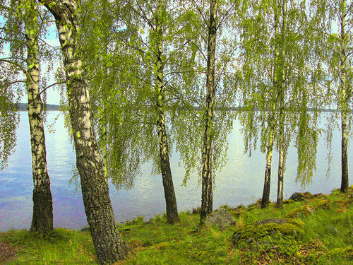 björkar vid Mälaren ~ birches by the shore by Per Ola Wiberg ~ Powi