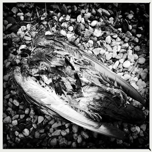dead pigeon 1
