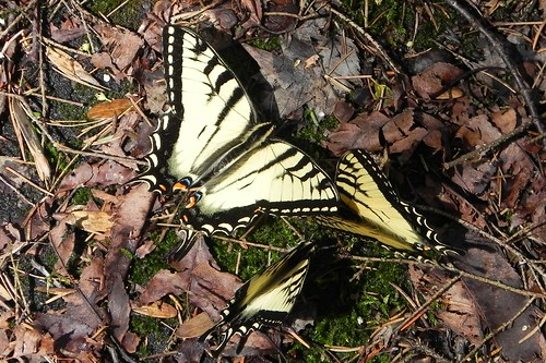 Sexy Eastern Tiger Swallowtails