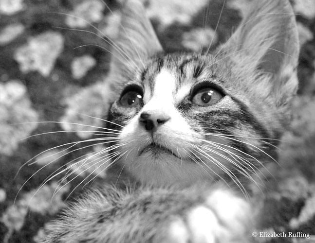 Gomez, Tabby kitten by Elizabeth Ruffing