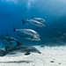 Dolphins @ Shaab Helua