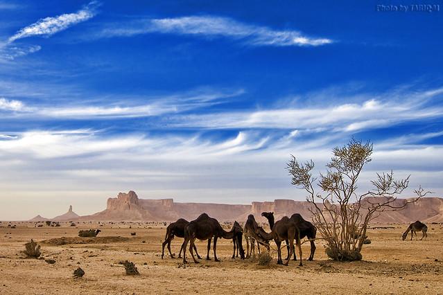 Camels Life