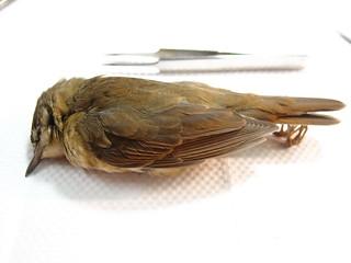 日本樹雀疑似誤吞蟲針致死。(台北鳥會提供)