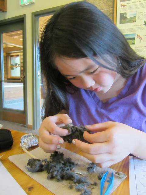 Sophia Dissecting an Owl Pellet
