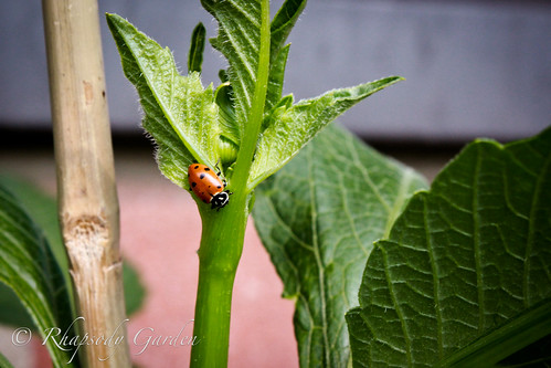 Ladybug on hollyhock stem