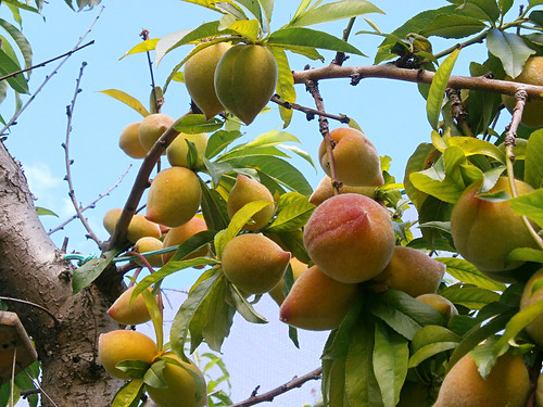 Peaches in north Tenerife
