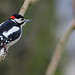 Great Spotted Woodpecker 2318a