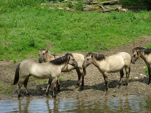 pferdchen an der geul_2